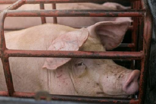 Schwein im Mastbetrieb