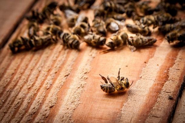 Tote Bienen - Bienensterben