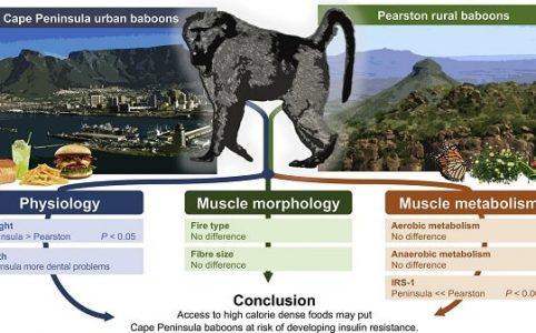 Physiologie der Paviane